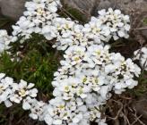 Iberis saxatilis subsp saxatilis