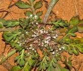 Lepidium coronopus