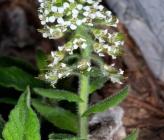 Lepidium hirtum subsp nebrodense