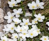 Linum leucanthum