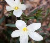 Linum phitosianum