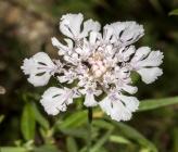 Lomelosia crenata subsp crenata