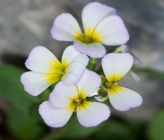 Malcolmia graeca subsp bicolor