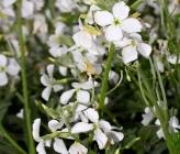 Matthiola incana subsp incana
