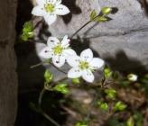 Minuartia recurva subsp condensata