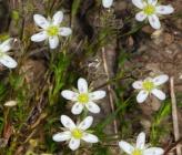 Minuartia verna subsp collina