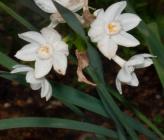 Narcissus papyraceus subsp papyraceus