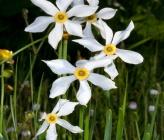 Narcissus poeticus subsp radiiflorus