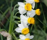 Narcissus tazetta subsp tazetta