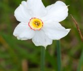 Narcissus poeticus subsp poeticus