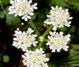 Oenanthe pimpinelloides subsp pimpinelloides