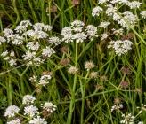 Oenanthe silaifolia