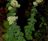 Origanum vulgare subsp viridulum