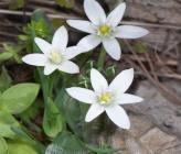 Ornithogalum fimbriatum subsp fimbriatum