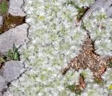 Paronychia albanica subsp graeca