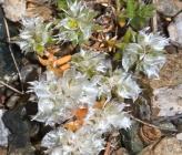 Paronychia capitata subsp capitata