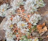 Paronychia macrosepala