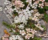 Pimpinella tragium subsp depressa