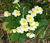 Primula vulgaris subsp vulgaris