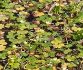 Ranunculus peltatus subsp fucoides
