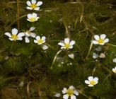 Ranunculus rionii