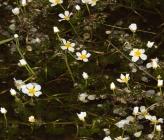 Ranunculus sphaerospermus
