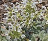Salvia candidissima subsp occidentalis