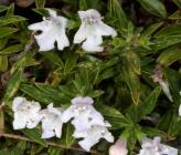 Satureja montana subsp montana