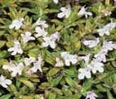 Satureja parnassica subsp parnassica