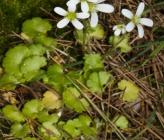 Saxifraga carpetana subsp graeca