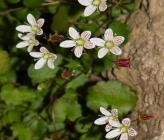 Saxifraga taygetea