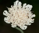 Scabiosa taygetea subsp taygetea