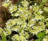 Scleranthus perennis subsp perennis