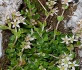 Sedum magellense subsp olympicum