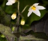 Solanum nigrum subsp abietinum