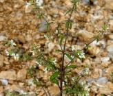 Stachys annua subsp annua