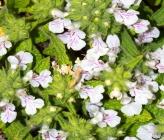 Stachys swainsonii subsp argolica