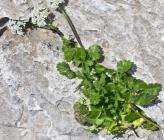 Tordylium pestalozzae