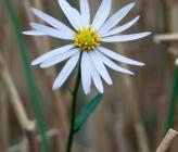 Tripolium pannonicum subsp pannonicum