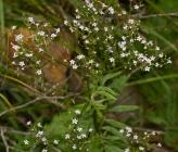 Valeriana pratensis subsp angustifolia