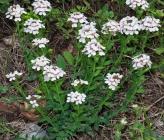 Aethionema saxatile subsp graecum