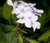 Cardamine bulbifera