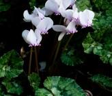 Cyclamen hederifolium subsp crassifolium