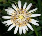 Tragopogon porrifolius subsp eriospermus