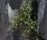 Clematis elisabethae-carolae