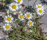 Anthemis tinctoria subsp parnassica
