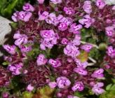 Thymus praecox subsp zygiformis
