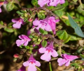 Thymus teucrioides subsp candilicus