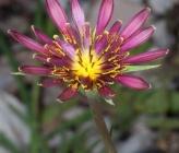 Tragopogon balcanicus