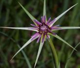 Tragopogon coelesyriacus